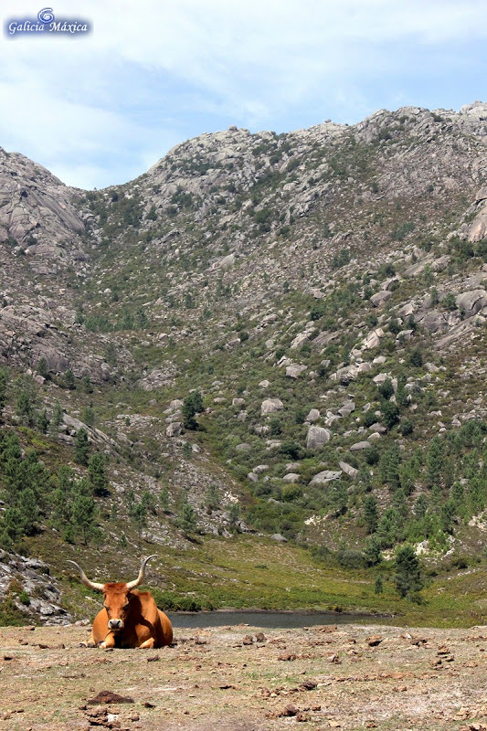 Vaca cachena en el embalse de Olelas